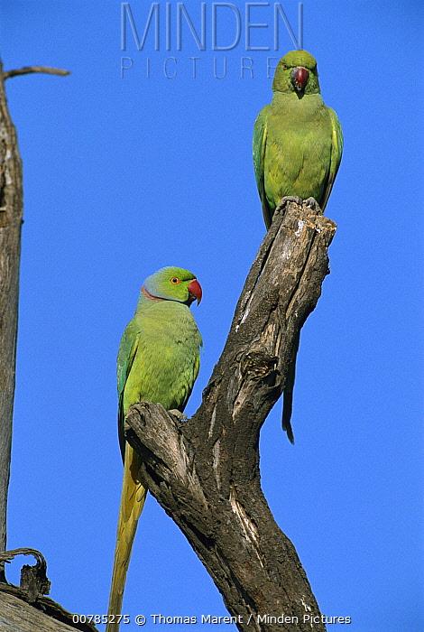 Rose-ringed Parakeet (Psittacula krameri) pair, Bharatpur National Park, India  -  Thomas Marent