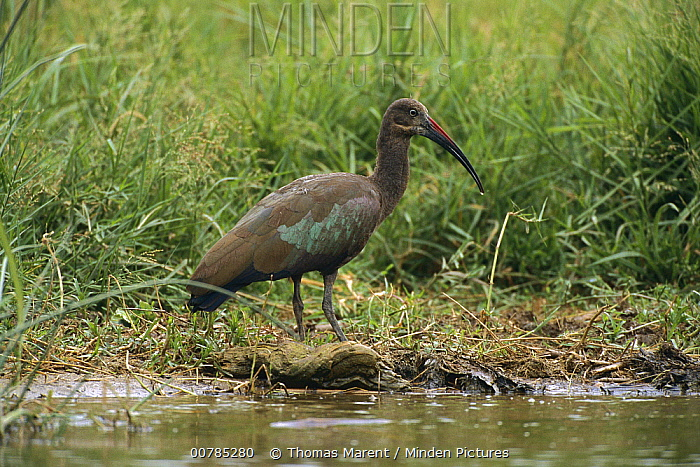 Hadada Ibis (Bostrychia hagedash) at waters edge, Queen Elizabeth National Park, Uganda  -  Thomas Marent