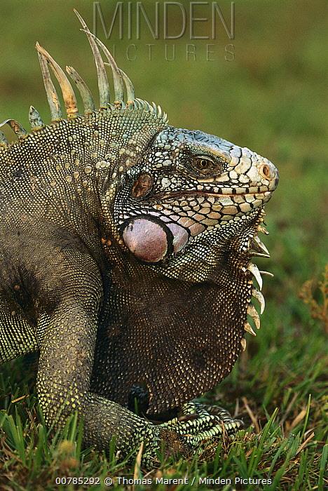 Green Iguana (Iguana iguana) male, Los Llanos, Venezuela  -  Thomas Marent