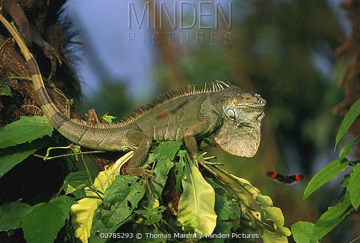 Green Iguana (Iguana iguana) on branch, Los Llanos, Venezuela  -  Thomas Marent