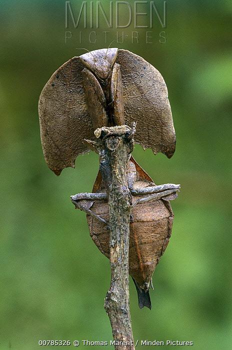 Mantis camouflaged on branch, Mantadia National Park, Madagascar  -  Thomas Marent