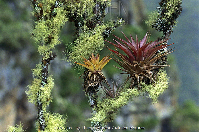 Bromeliad (Bromeliaceae) pair growing on moss covered branches, Machu Picchu, Peru  -  Thomas Marent