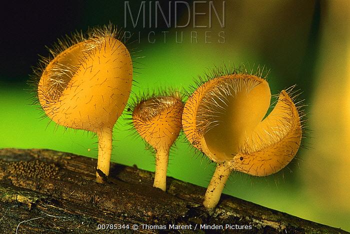 Cup Fungus (Cookeina sp) trio, Tambopata-Candamo Nature Reserve, Peru  -  Thomas Marent
