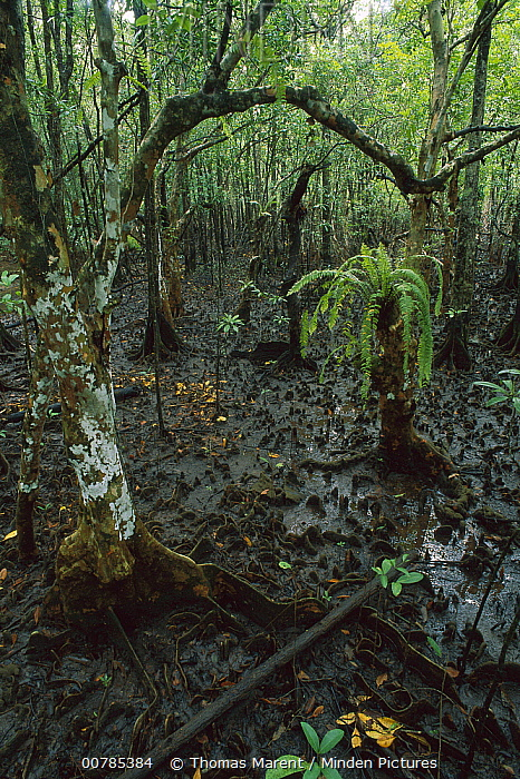 Mangrove (Rhizophoraceae) swamp at low tide, Daintree National Park, Australia  -  Thomas Marent