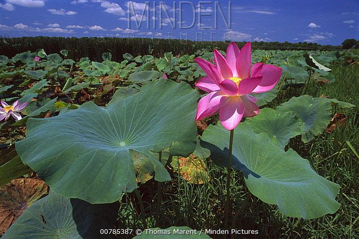 Sacred Lotus (Nelumbo nucifera) flower, Kakadu National Park, Australia  -  Thomas Marent