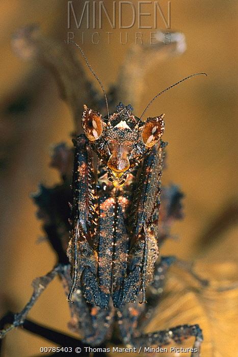Mantid (Acanthops sp) hanging upside down on twig, Guyana  -  Thomas Marent