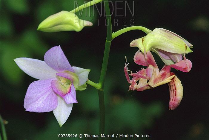 Orchid Mantis (Hymenopus coronatus) female mimicking a pink flower, Malaysia  -  Thomas Marent