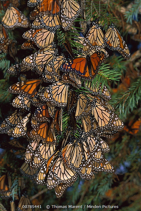 Monarch (Danaus plexippus) butterfly cluster, Michoacan, Mexico  -  Thomas Marent