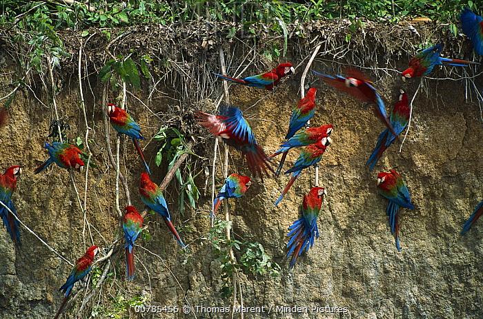 Red and Green Macaw (Ara chloroptera) flock feeding on minerals at clay lick, Madre de Dios River, Peru  -  Thomas Marent