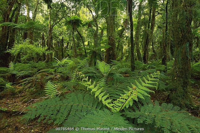Tree Fern (Dicksonia sp) and Silver Beech (Nothofagus menziesii) growth in rainforest interior, Mount Aspiring National Park, New Zealand  -  Thomas Marent
