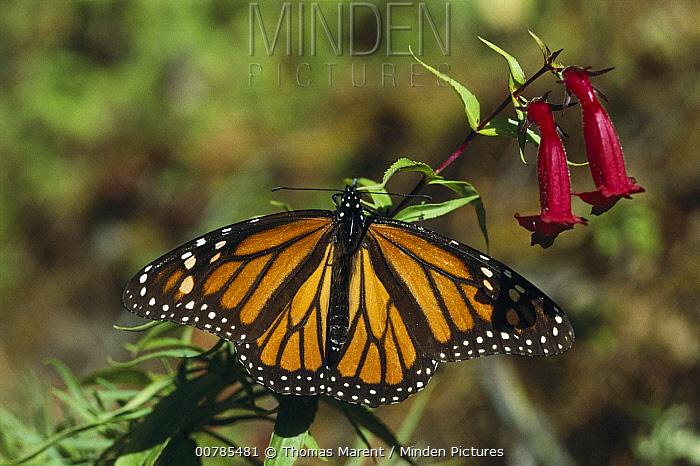 Monarch (Danaus plexippus) butterfly, Ocampo, Mexico  -  Thomas Marent