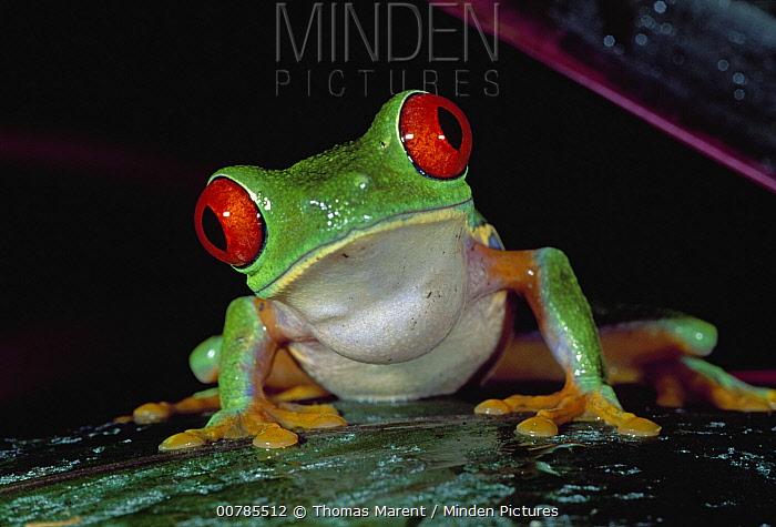 Red-eyed Tree Frog (Agalychnis callidryas), Cahuita National Park, Costa Rica  -  Thomas Marent
