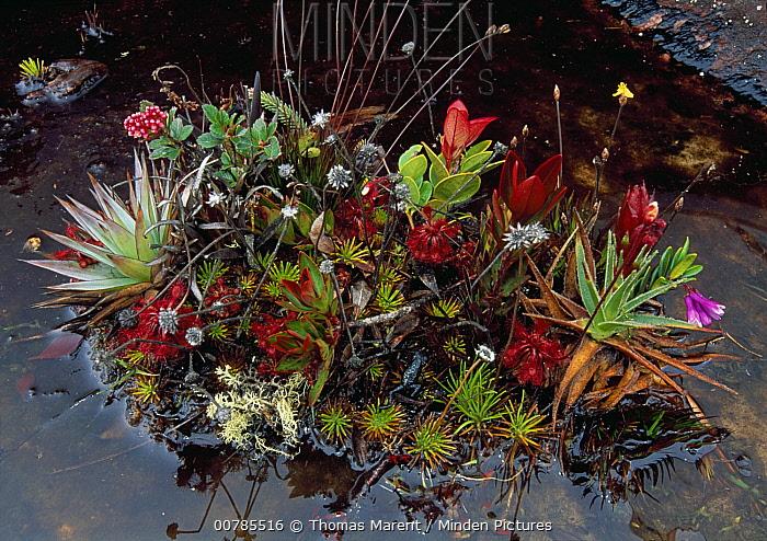Isolated plant community including bromeliads amd mosses, Roraima Mountain, Canaima National Park, Venezuela  -  Thomas Marent
