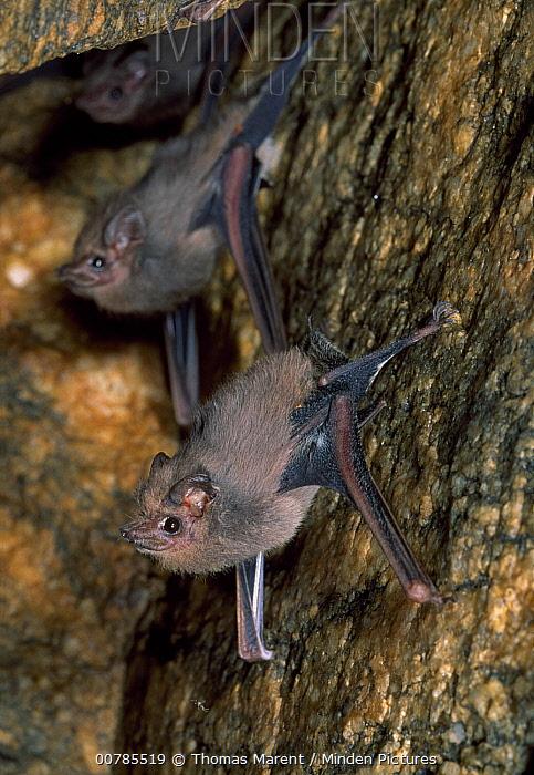 Bat pair roosting in cave, Puerto Angel, Mexico  -  Thomas Marent