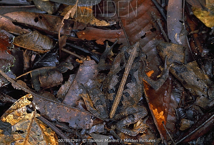 Leaf Litter Toad (Bufo typhonius) camouflaged in leaf litter, Amacayacu National Park, Colombia  -  Thomas Marent