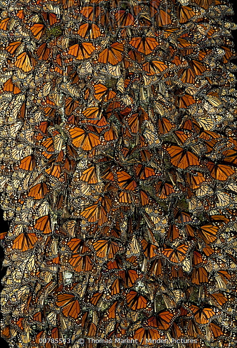 Monarch (Danaus plexippus) butterflies roosting in trees at night, Michoacan, Mexico  -  Thomas Marent
