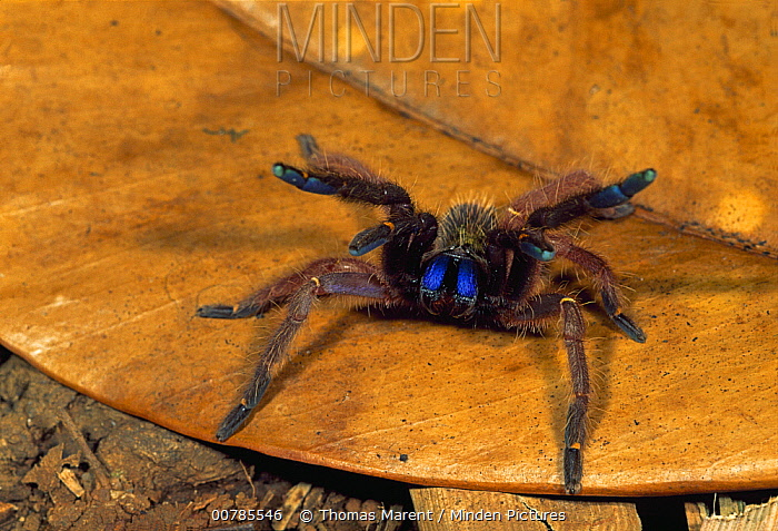 Blue Fang Skeleton Tarantula (Ephebopus cyanognathus) in defensive posture, French Guiana  -  Thomas Marent