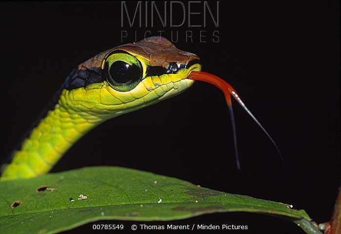 Painted Bronzeback (Dendrelaphis pictus) snake portrait smelling with tongue, Sabah, Borneo, Malaysia  -  Thomas Marent