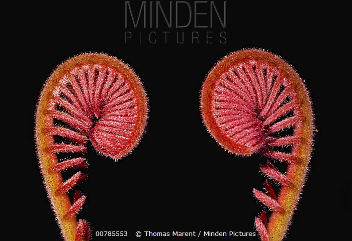 Fern fiddleheads, Sabah, Borneo, Malaysia  -  Thomas Marent