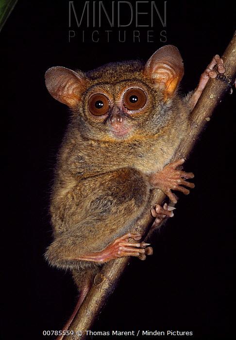 Spectral Tarsier (Tarsius tarsier), Tangkoko Nature Reserve, Sulawesi, Indonesia  -  Thomas Marent