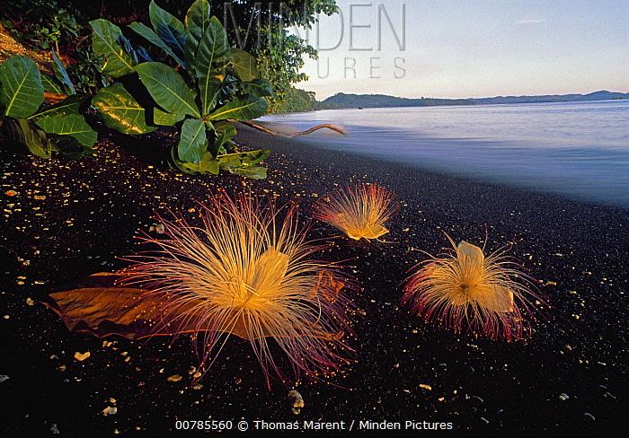 Sea Putat (Barringtonia asiatica) flowers on volcanic black sand beach, Tangkoko Nature Reserve, Sulawesi, Indonesia  -  Thomas Marent