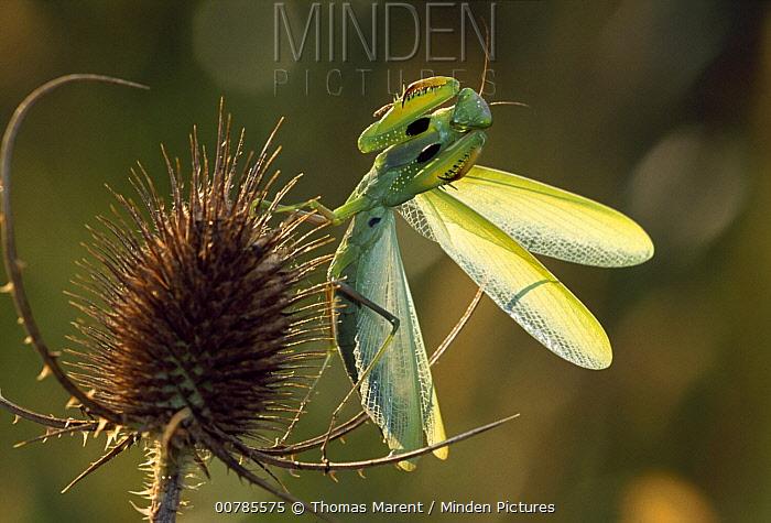 European Mantid (Mantis religiosa) in defensive posture on thistle, Switzerland  -  Thomas Marent