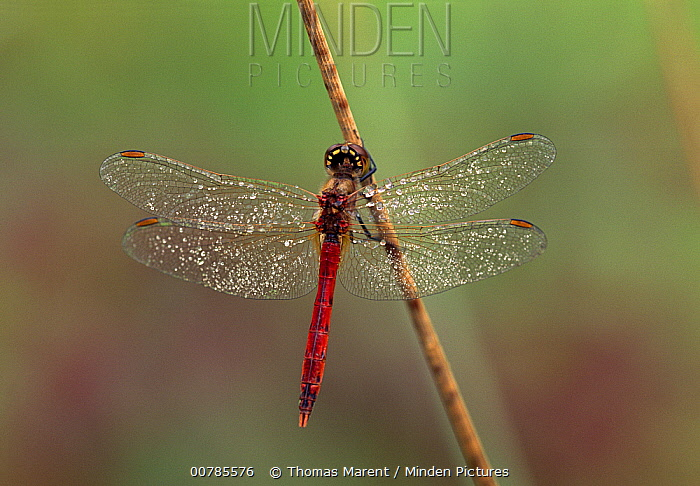 Eurasian Red Dragonfly (Sympetrum depressiusculum) male on reed, Switzerland  -  Thomas Marent