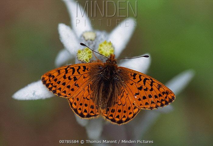 Shepherd's Fritillary (Boloria pales) butterfly, Switzerland  -  Thomas Marent