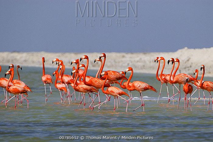Greater Flamingo (Phoenicopterus ruber) group walking through water, Rio Lagartos, Yucatan, Mexico  -  Thomas Marent