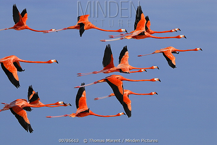 Greater Flamingo (Phoenicopterus ruber) group flying, Rio Lagartos, Yucatan, Mexico  -  Thomas Marent