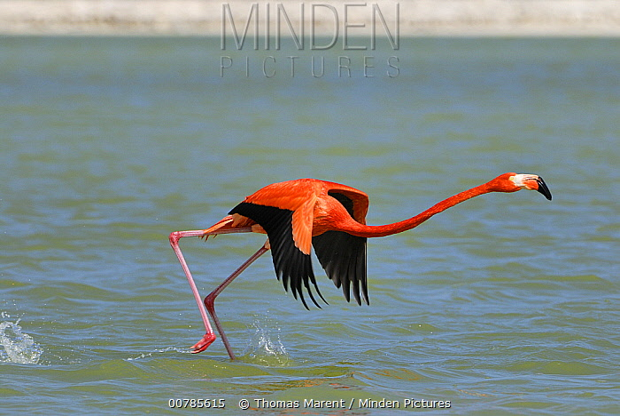 Greater Flamingo (Phoenicopterus ruber) taking flight, Rio Lagartos, Yucatan, Mexico  -  Thomas Marent