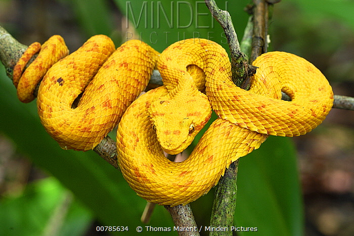 Eyelash Viper (Bothriechis schlegelii) with yellow coloration, coiled on branch, Cahuita National Park, Costa Rica  -  Thomas Marent