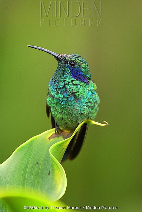 Green Violet-ear (Colibri thalassinus) hummingbird perched on leaf, Costa Rica  -  Thomas Marent