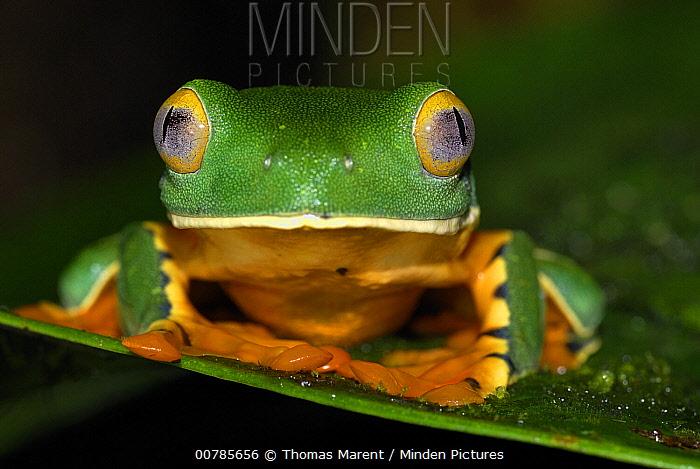 Splendid Leaf Frog (Agalychnis calcarifer) portrait, Siquirres, Costa Rica  -  Thomas Marent
