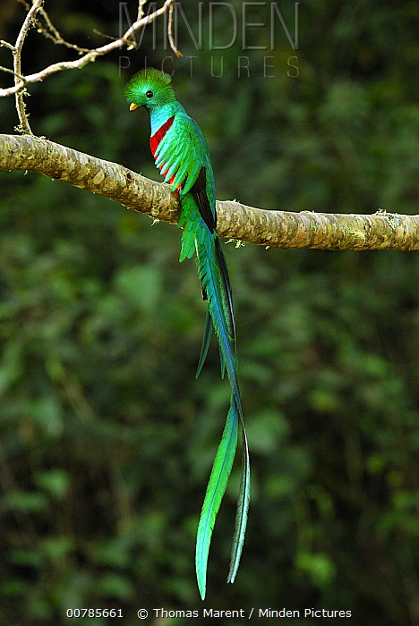 Resplendent Quetzal (Pharomachrus mocinno) male, Costa Rica  -  Thomas Marent