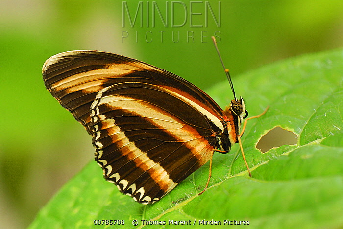 Banded Orange Heliconian (Dryadula phaetusa) butterfly, Colombia  -  Thomas Marent