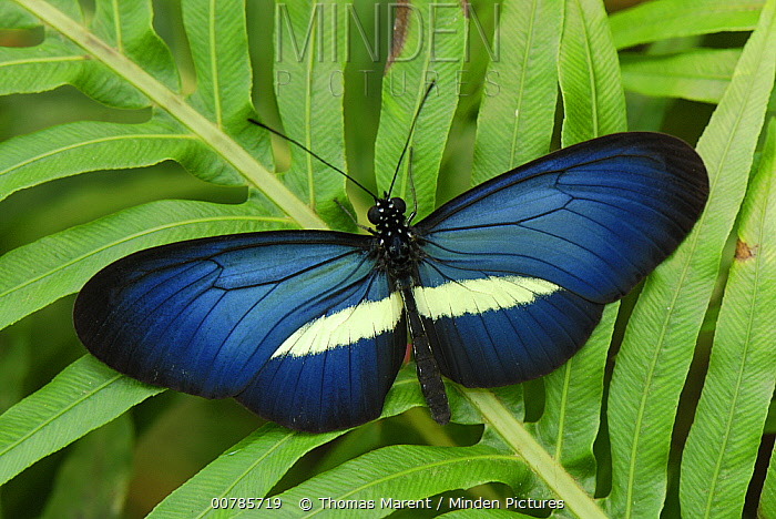 Crimson-patched Longwing (Heliconius erato) butterfly, Colombia  -  Thomas Marent