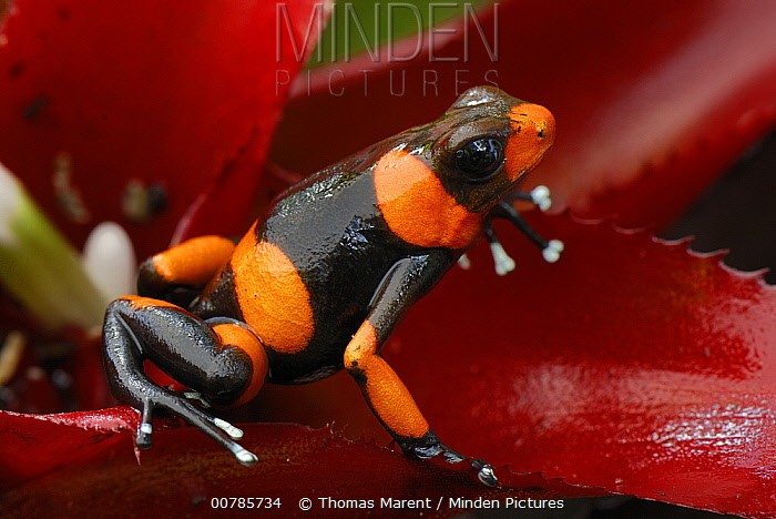 Red-banded Poison Frog (Dendrobates lehmanni) on bromeliad, Cauca, Colombia  -  Thomas Marent