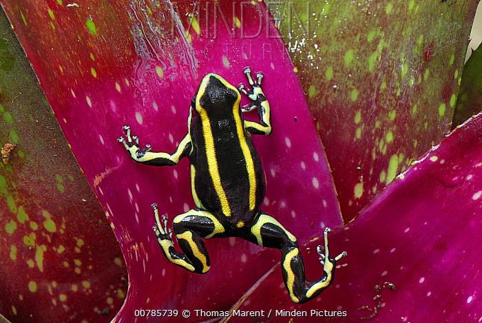 Dyeing Poison Frog (Dendrobates tinctorius) on bromeliad, Cauca, Colombia  -  Thomas Marent