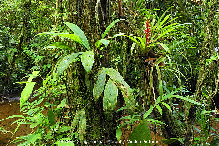 Tropical rainforest with bromeliad, San Cipriano, Colombia  -  Thomas Marent