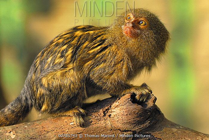 Pygmy Marmoset (Cebuella pygmaea), Amazon Forest, Leticia, Colombia  -  Thomas Marent