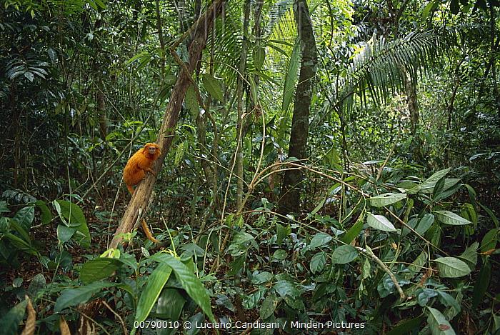 Golden Lion Tamarin (Leontopithecus rosalia) endangered species, in Atlantic Forest habitat, Rio De Janeiro, Brazil  -  Luciano Candisani