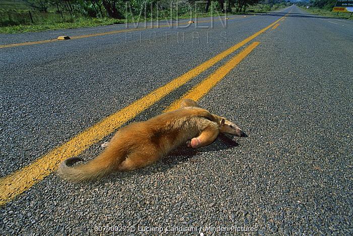 Southern Anteater (Tamandua tetradactyla) road kill victim, Cerrado Ecosystem, Mato Grosso Do Sul, Brazil  -  Luciano Candisani