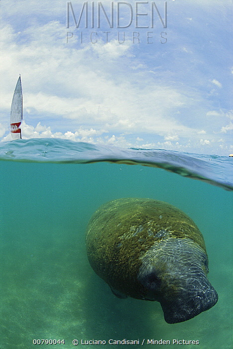 Antillean Manatee (Trichechus manatus manatus) in coastal shallow waters near a boat, Brazil  -  Luciano Candisani