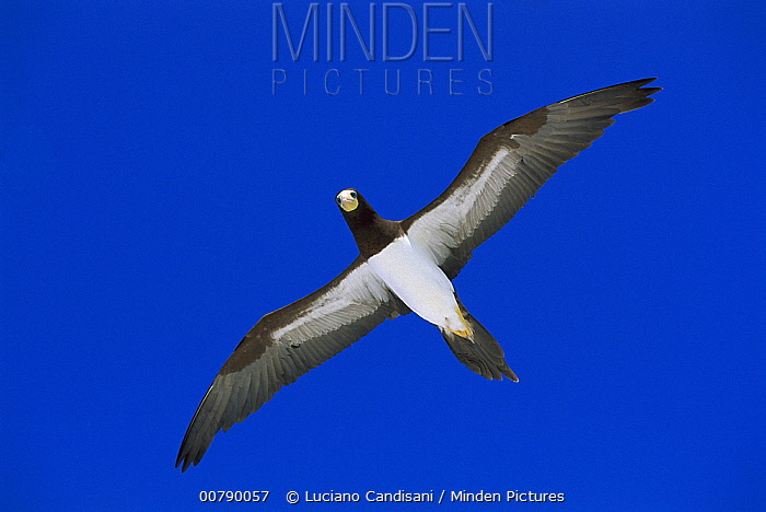 Brown Booby (Sula leucogaster) flying, Rocas Atoll, Brazil  -  Luciano Candisani