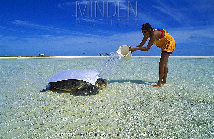 Green Sea Turtle (Chelonia mydas) researcher hydrating a female surprised by very low tide after laying her eggs, Rocas Atoll, Brazil  -  Luciano Candisani