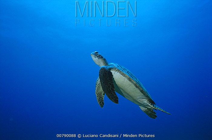 Green Sea Turtle (Chelonia mydas) swimming underwater, Fernando De Noronha Island, Brazil  -  Luciano Candisani