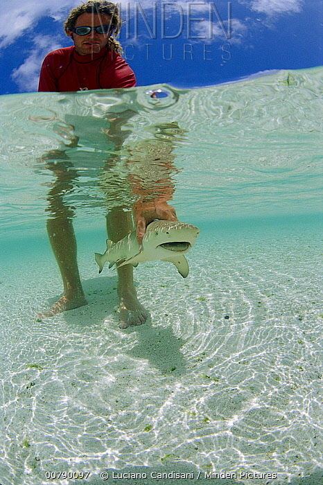 Lemon Shark (Negaprion acutidens) young being released by biologist of Dr. Gruber's research team, Rocas Atoll, Brazil  -  Luciano Candisani