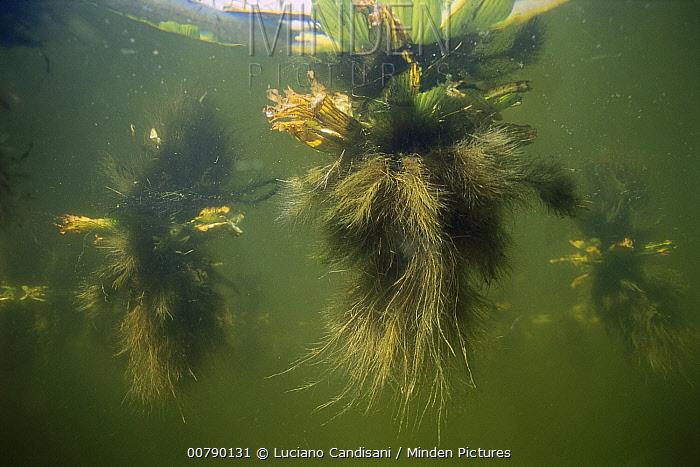 Water Lettuce (Pistia stratiotes) in Tapajos River, Amazon, Brazil  -  Luciano Candisani