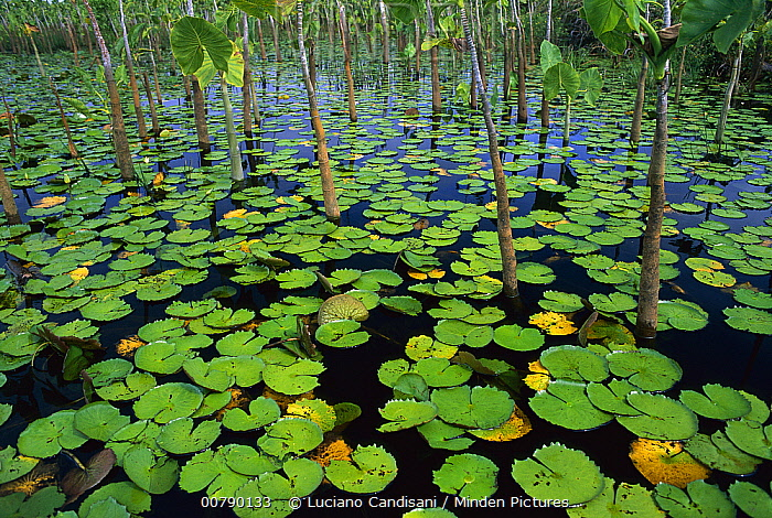 Water Lily (Nymphaea sp) pads and other aquatic plants in stream, Amazon, Brazil  -  Luciano Candisani
